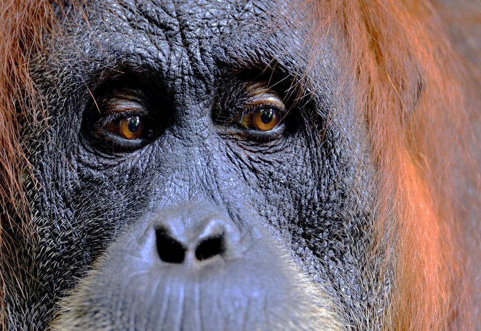 Craig Jones' image of a female Sumatran Orangutan in rainforests of Gunung Leuser National Park, northern Sumatra, Indonesia