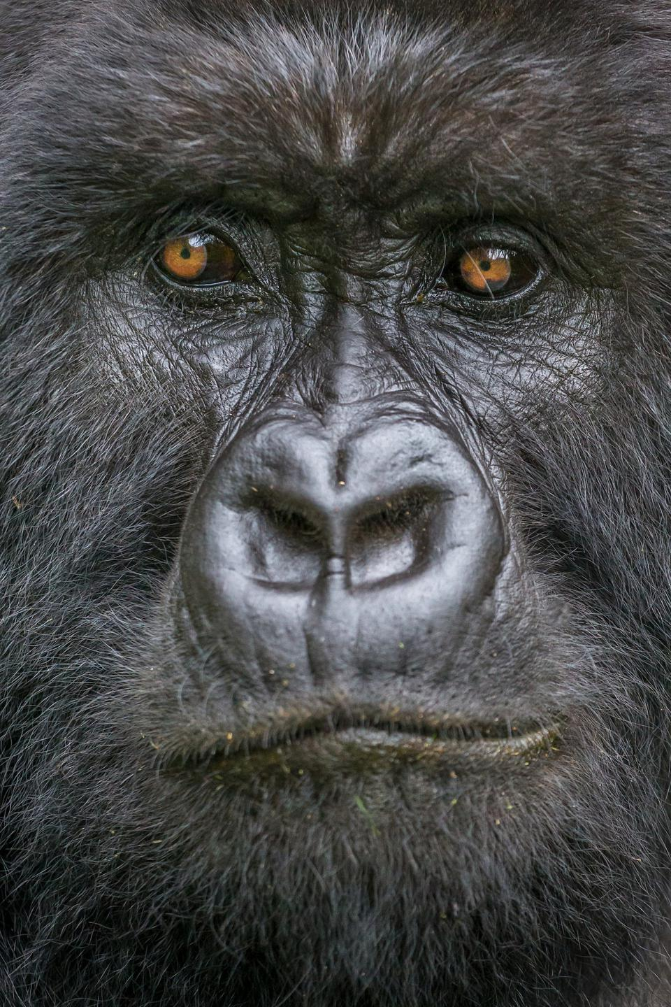 Art Wolfe. Mountain gorilla in Virunga Mountains, Rwanda