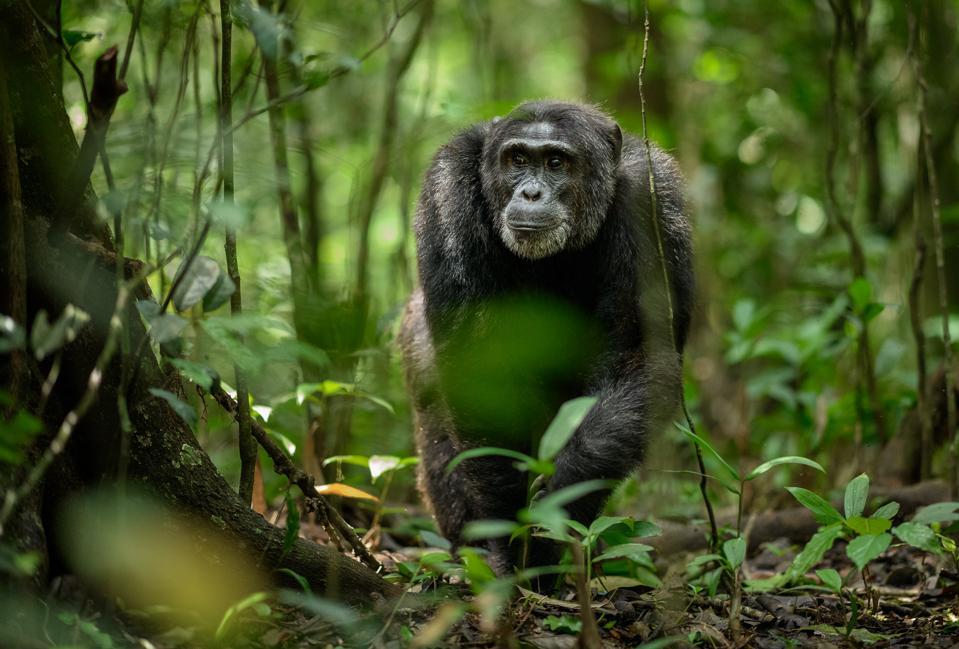 Richard Peters. Chimp in Kibale National Forest, Uganda