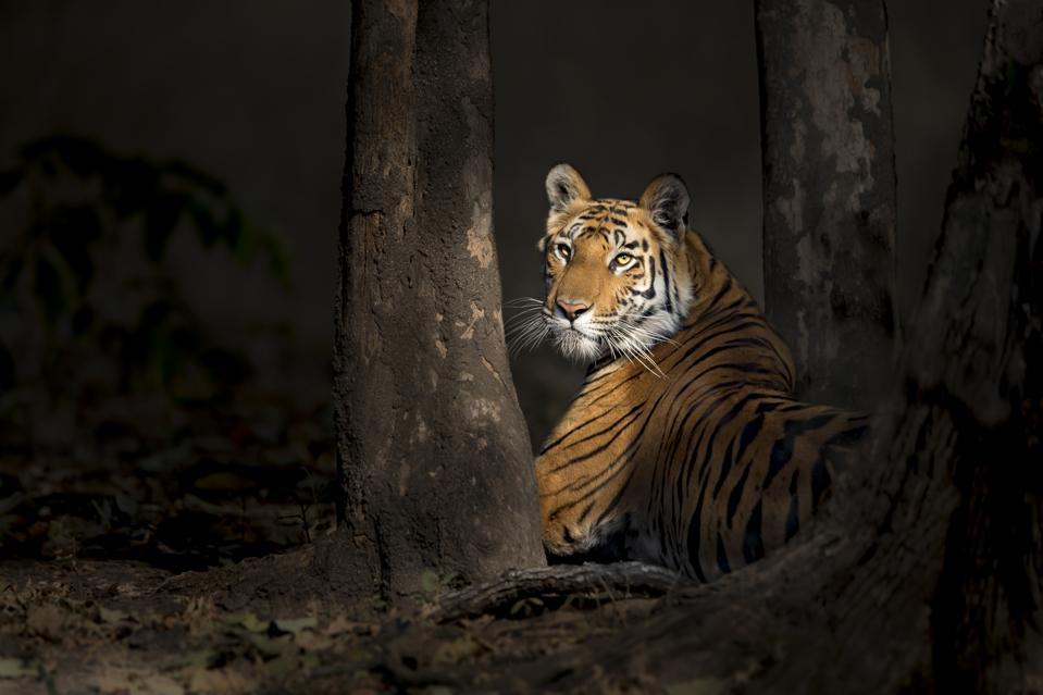Thomas Vijayan. Bengal tiger in the woods in Bandhavgarh National Park, India