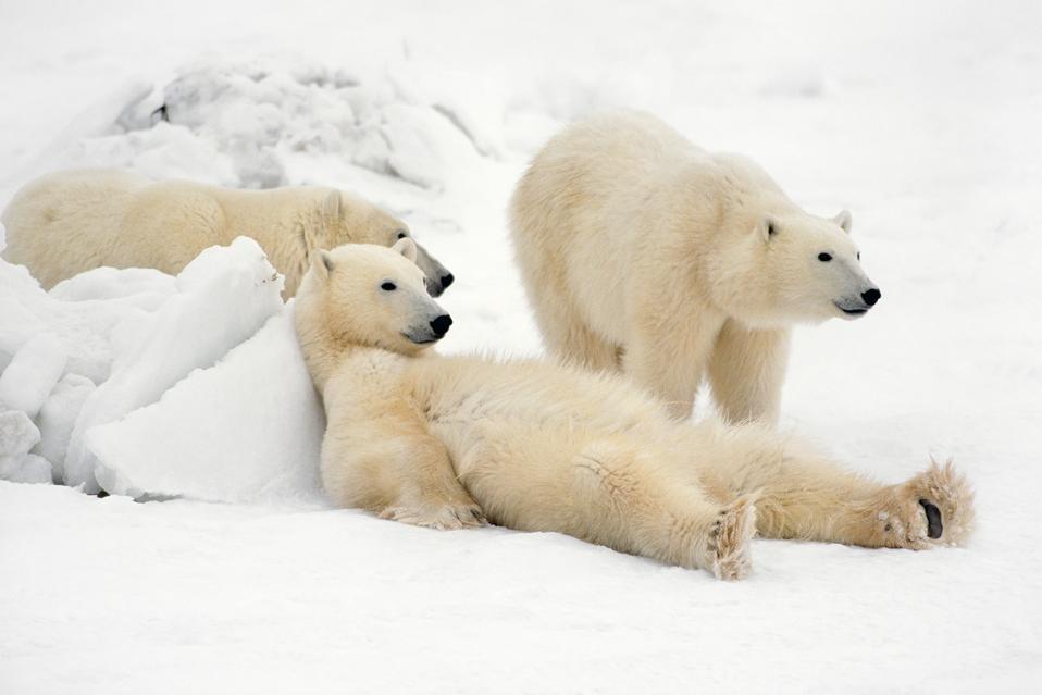 Thomas D. Mangelsen's 'Bad Boys of the Arctic'