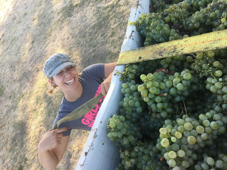 wine grapes at harvest, organic winegrapes, wine making