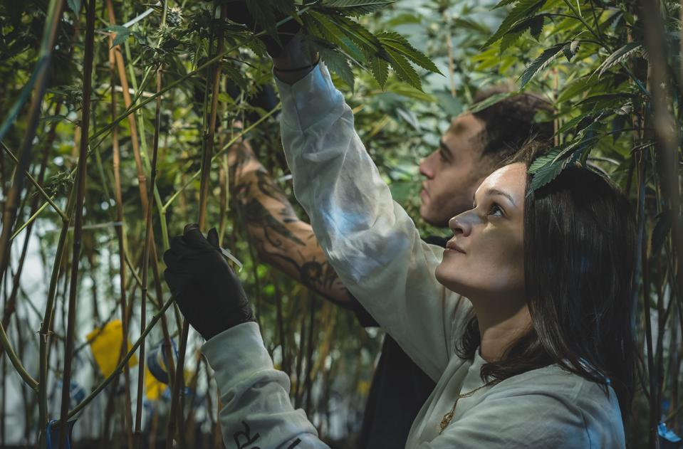 Founders Will Perry and Adriana Ruiz Carlile under the canopy at Magic Hour Cannabis HQ