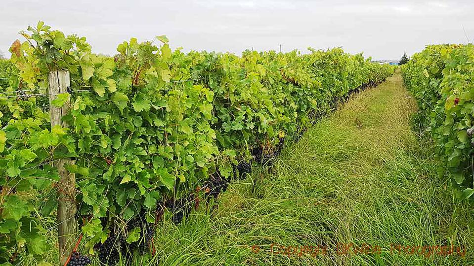 The vineyard at Unison Vineyards at harvest time