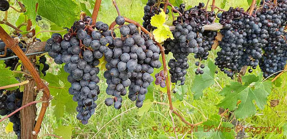 Syrah grapes in Hawke's Bay, Unison Vineyards