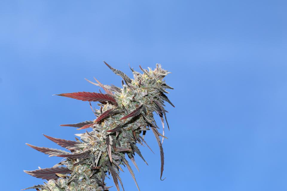 Outdoor grown at Aster Farms