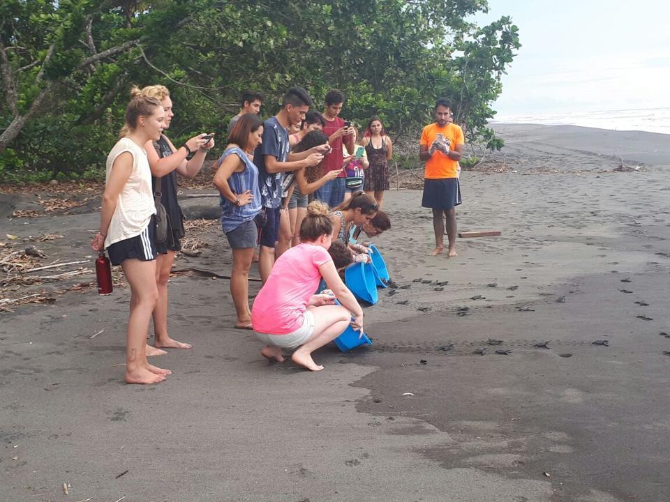 Volunteers releasing hatchlings