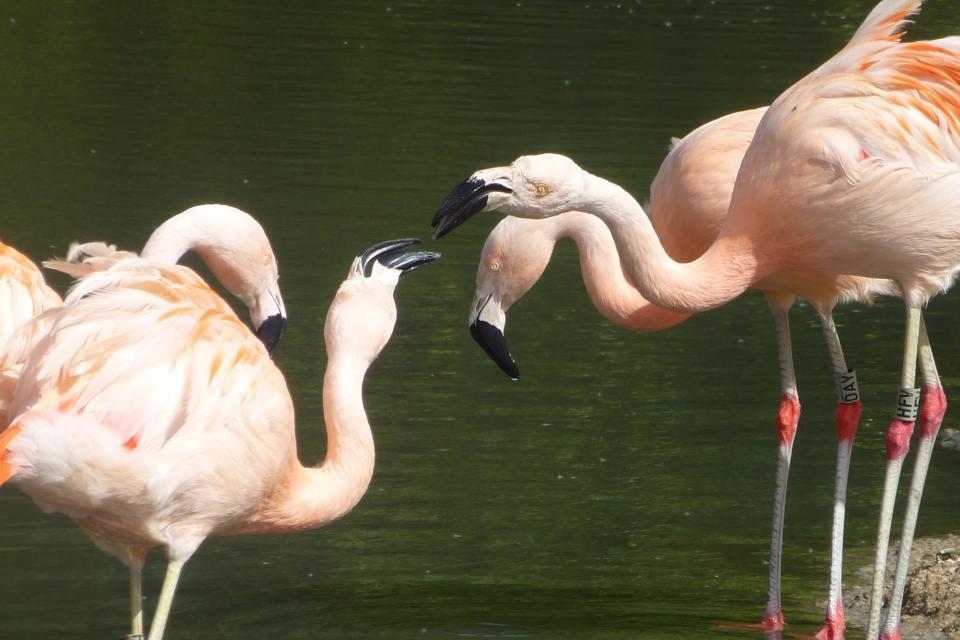 Flamingos socializing