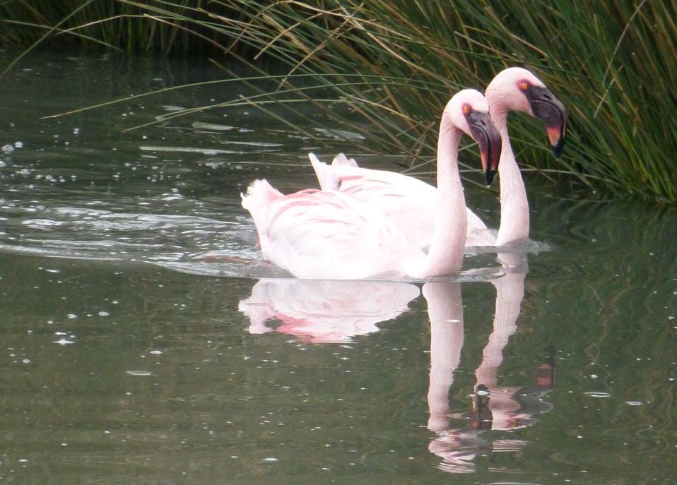 Flamingos swimming