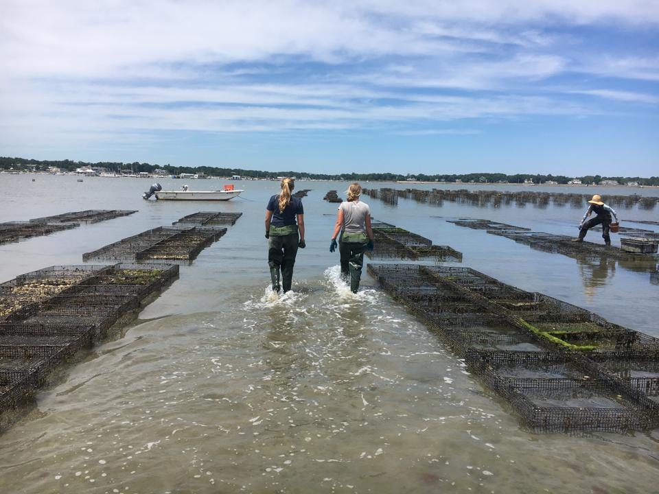 two oyster farmers walking away from the camera on the oyster farm, boat and cages in the background.
