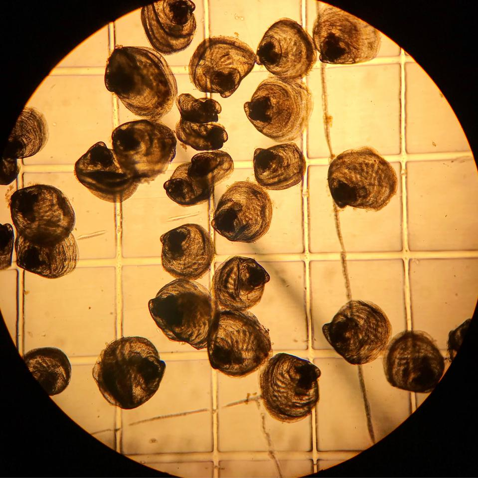 Oyster seed under a microscope, at 3 weeks
