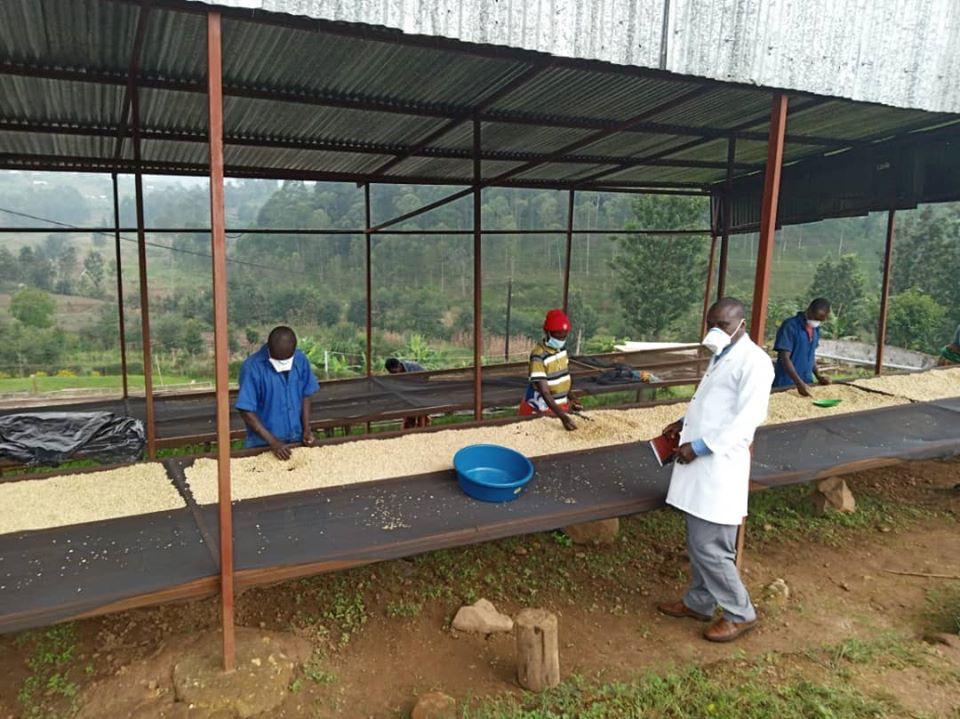 Sorting dried coffee while social distancing in Rwanda.