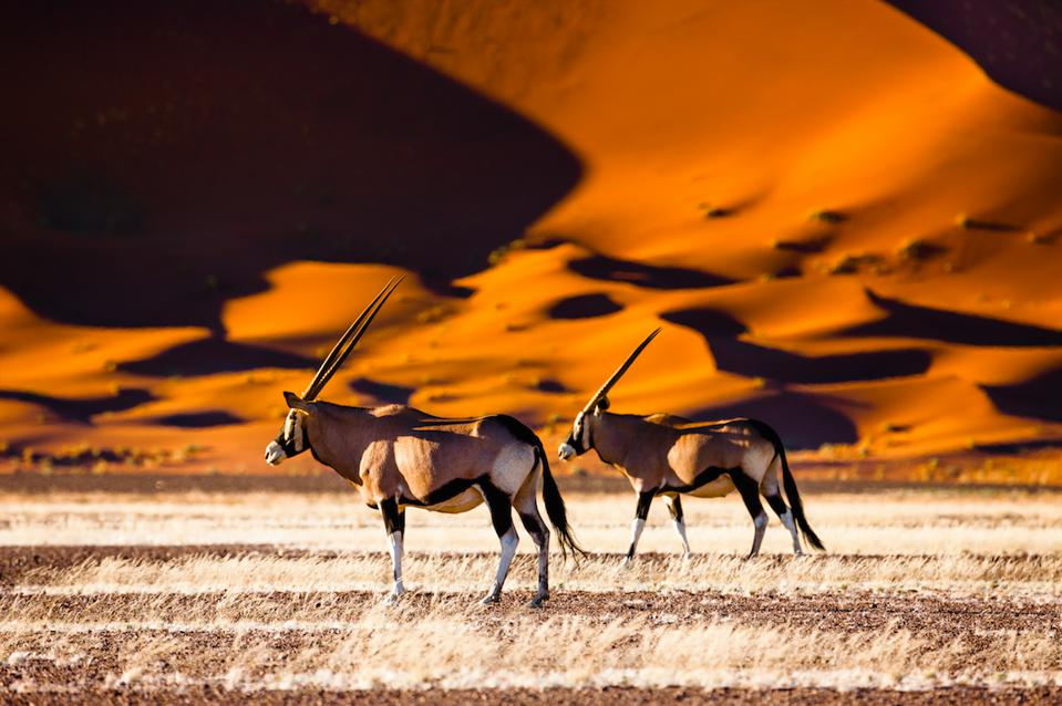 Catch sight of the oryx near Sossusvlei in Namibia.