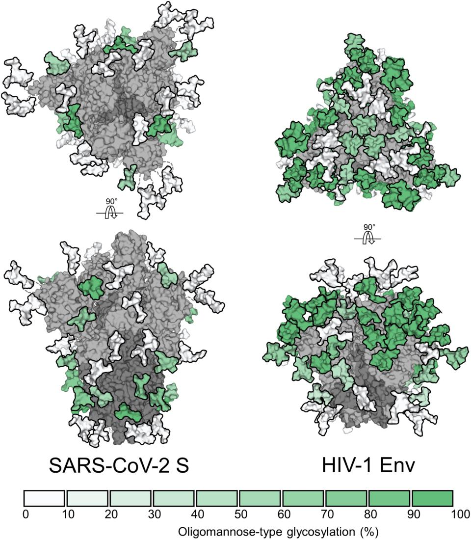The density and distribution of sugars attached to the spike proteins of coronavirus (SARS-CoV-2 S) and Human Immunodeficiency Virus (HIV-1 Env), showing the relative amount of mannose sugars around the 'glycan shield'.