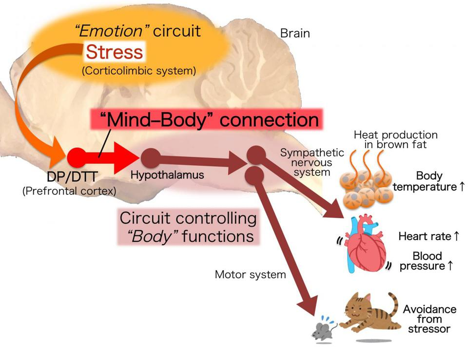 Neural circuit that drives physical responses to emotional stress. Emotional stress signals are processed in the 'emotion' circuits and integrated in the DP/DTT. The integrated signals are transmitted to the hypothalamus which then drives a variety of physical responses through circuits that control ″body″ functions. The discovered 'mind-body' connection constitutes a key part of the stress circuit in the brain.