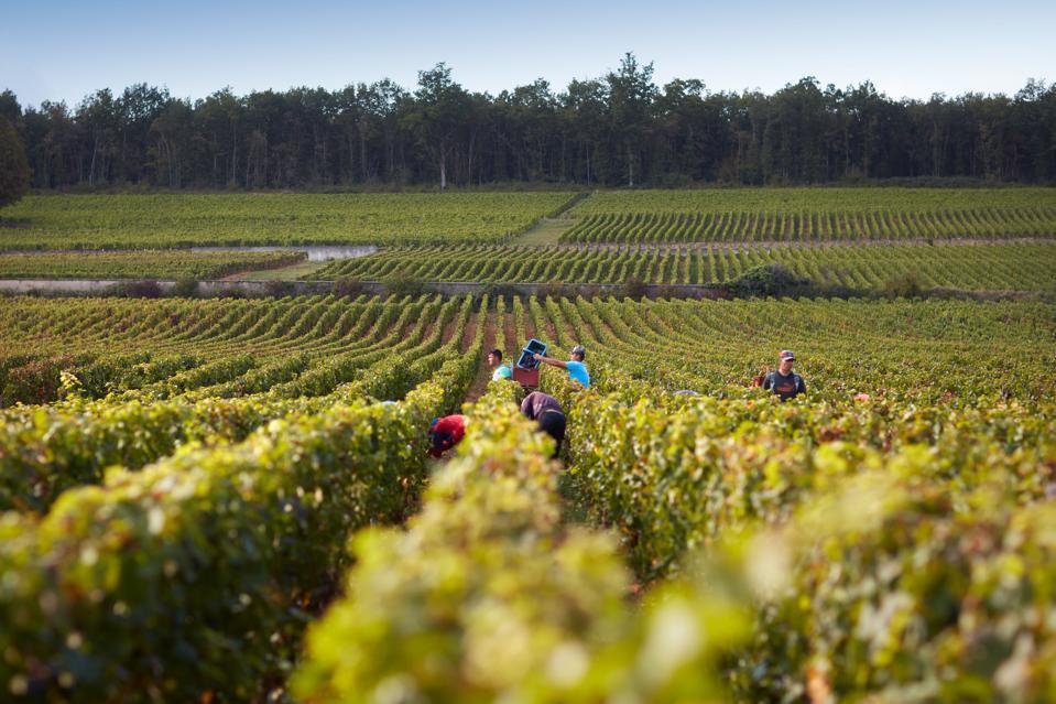 Harvest at Boisset vineyards in Burgundy, France