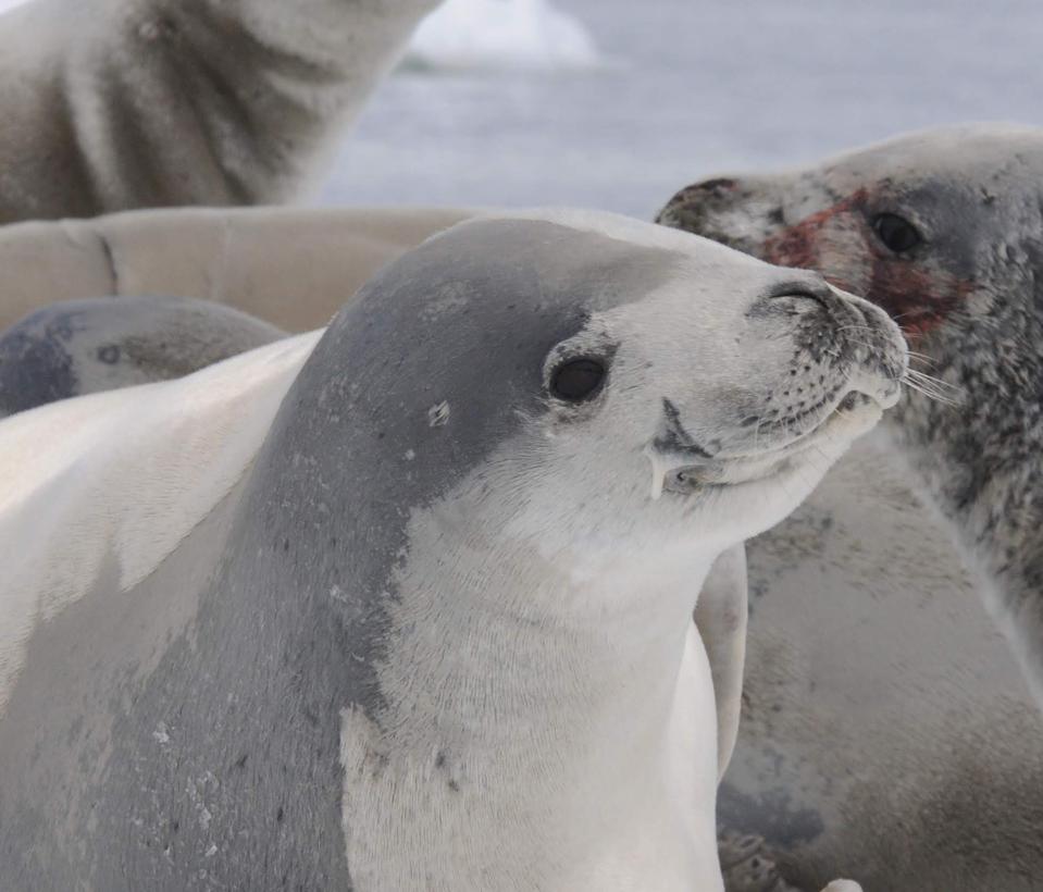 Crabeater seals photographed on the Antarctic Peninsula