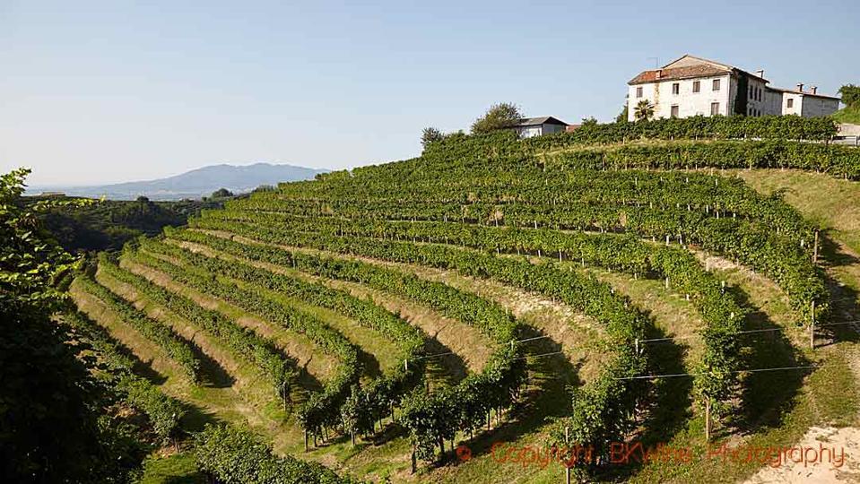 Vineyards in the Prosecco region in Italy