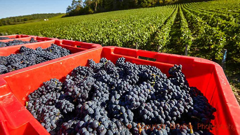 Pinot Noir grapes harvested for Champagne in the Cote des Bar region