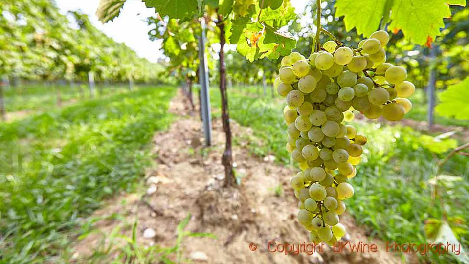 Glera grapes ready to be harvested in the Prosecco region in Italy