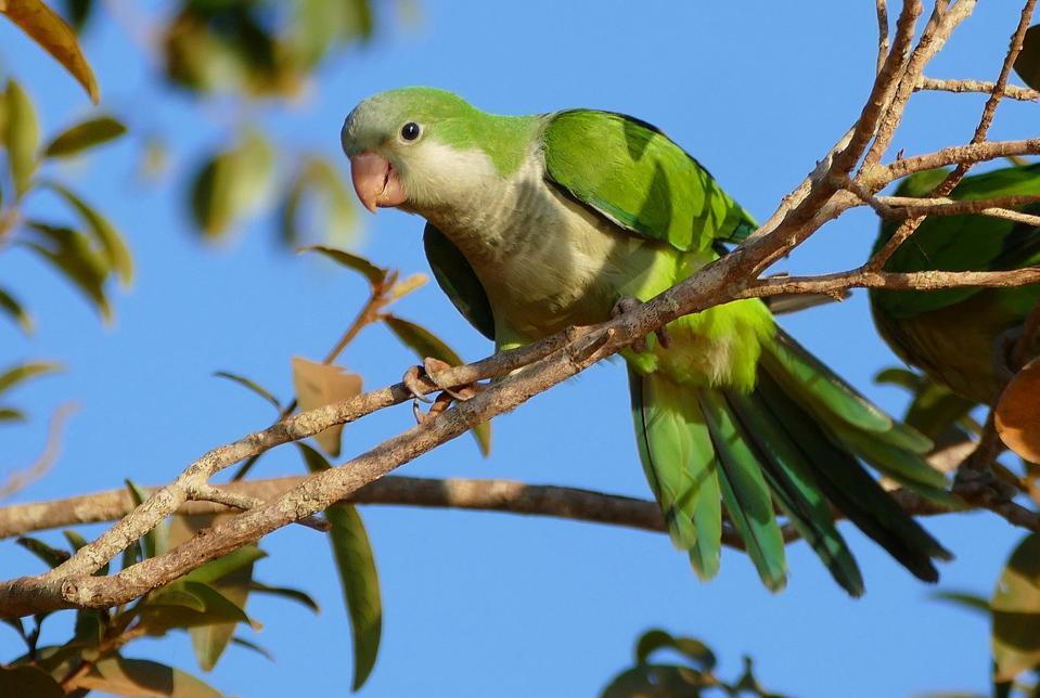 Monk parakeet (Myiopsitta monachus) in Brazil.