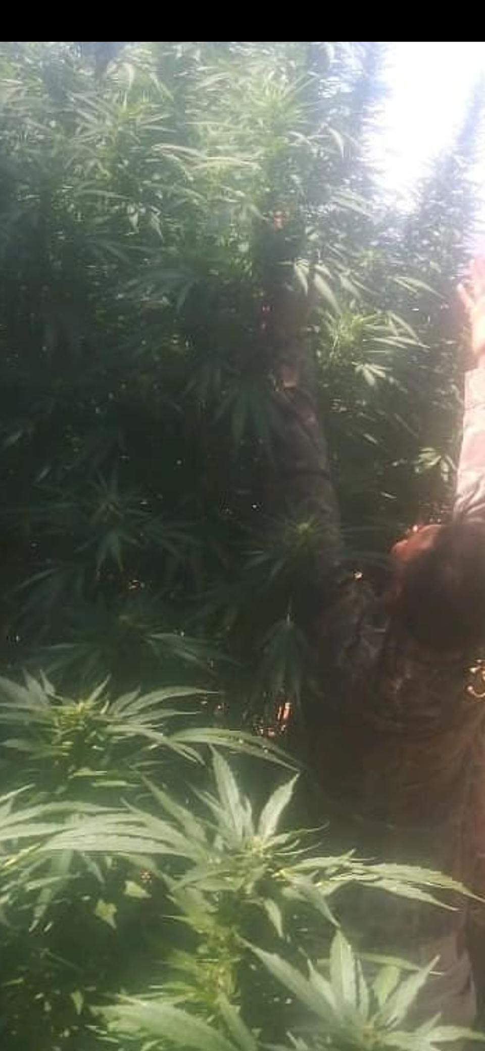12 ft plant, strain:tango