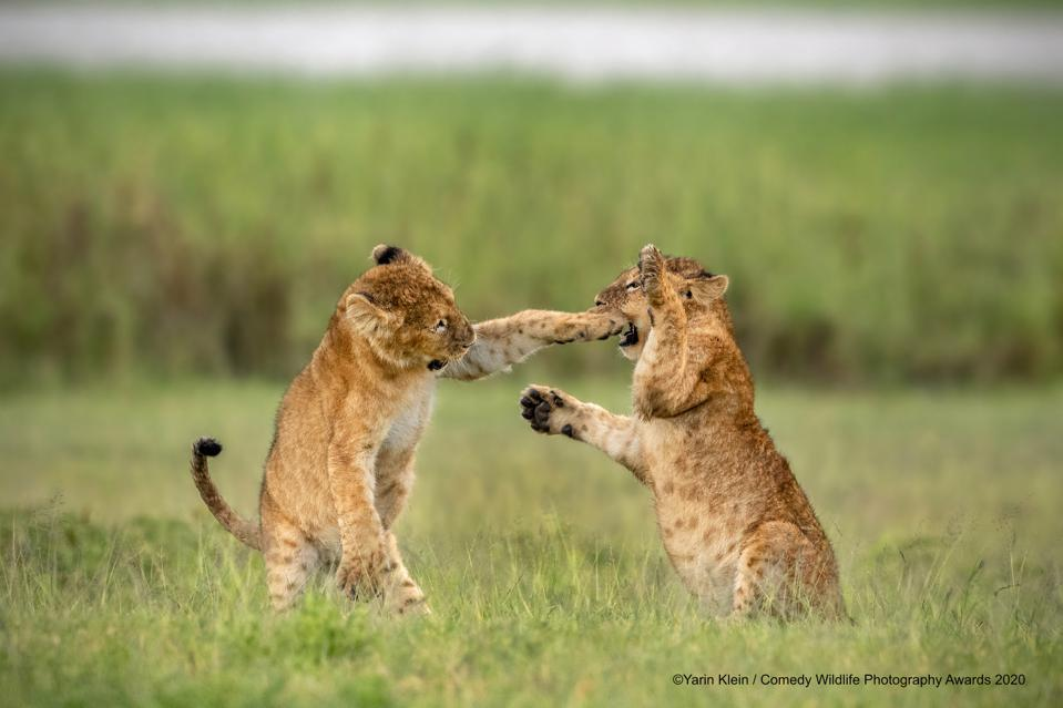 Lion cubs playing  Comedy Wildlife