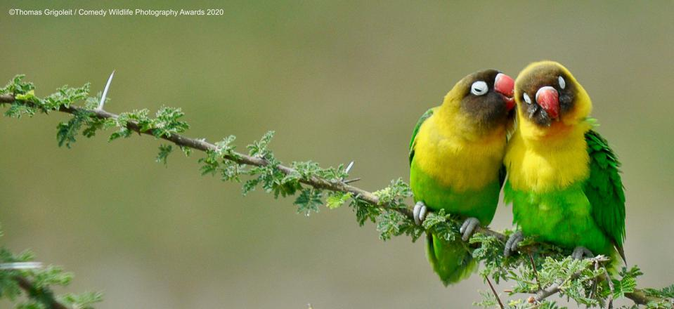 talking yellow-green parrots, Comedy WIldlife