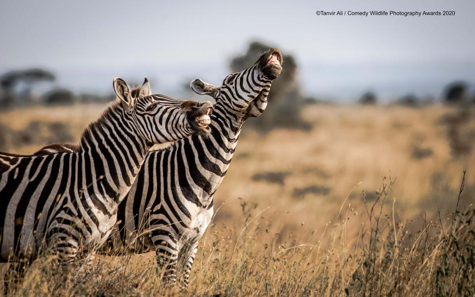 zebras laughing, Comedy WIldlife
