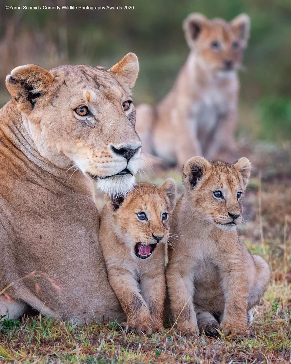 lioness with funny cubs, Comedy Wildlife