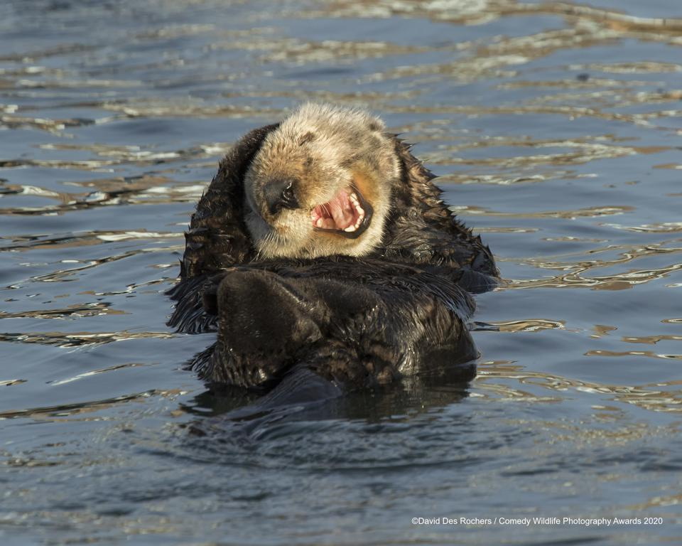 funny sea otter laughing, Comedy WIldlife