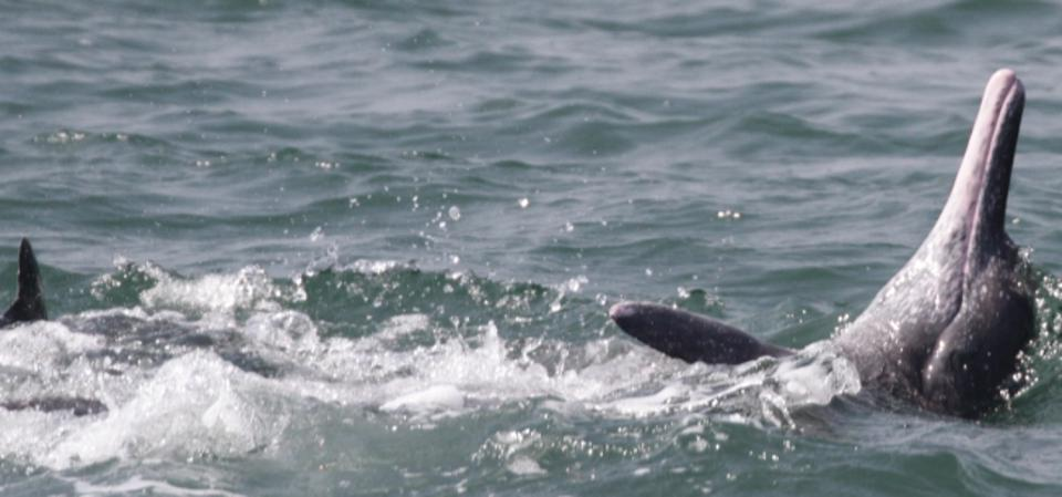 A humpback dolphin off the coast of Sindhudurg in western India in December of 2018.
