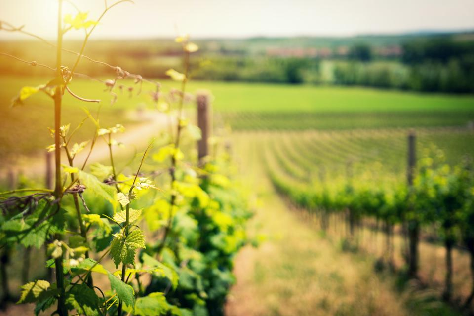 A vineyard in Burgundy, where producers are suffering from U.S. import tariffs.