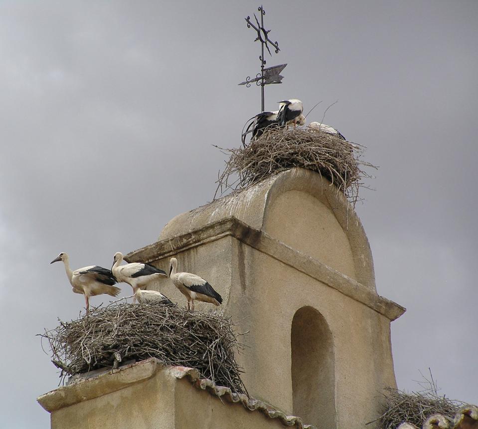 Ciconia_ciconia_-Iglesia_de_San_Isidoro,_Ciguenas_en_el_campanario,_Salamanca,_Spain-18June2006