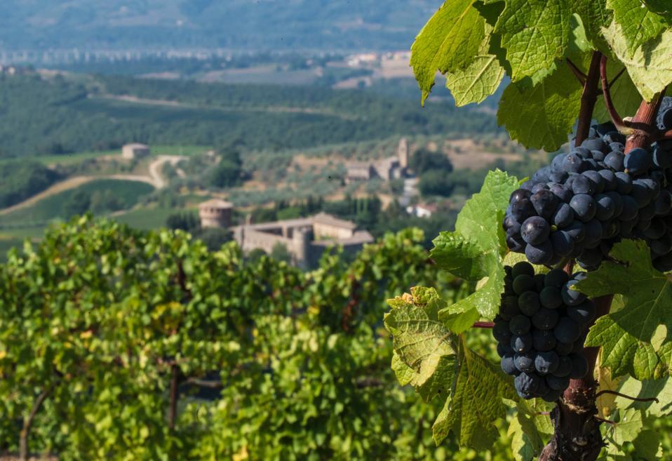 Pinot Nero grapes growing at an Antinori estate