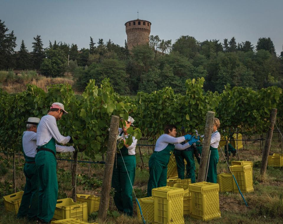 Harvest at Antinori's Castello della Sala in Umbria, Italy