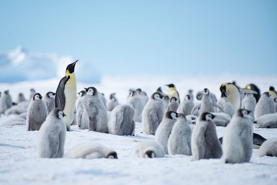 Emperor penguins in the wild
