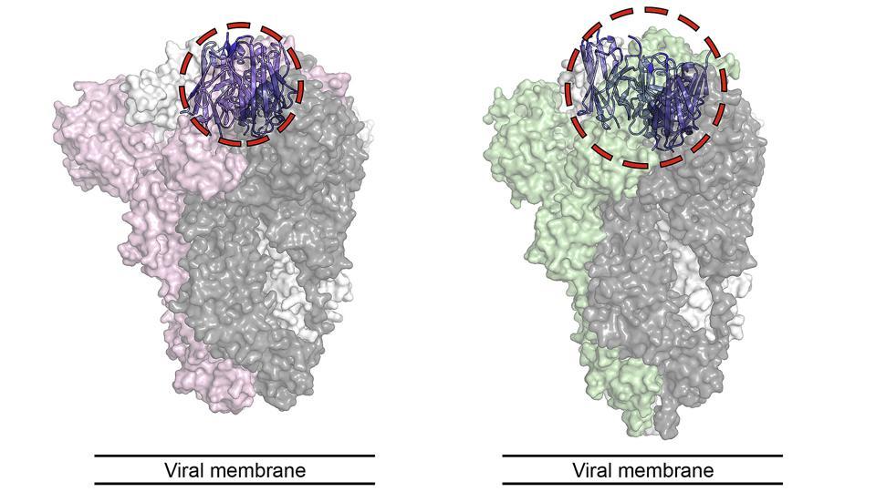 VHH-72 nanobody bound to the spike protein of SARS-CoV-1 (SARS) and SARS-CoV-2 (COVID-19).
