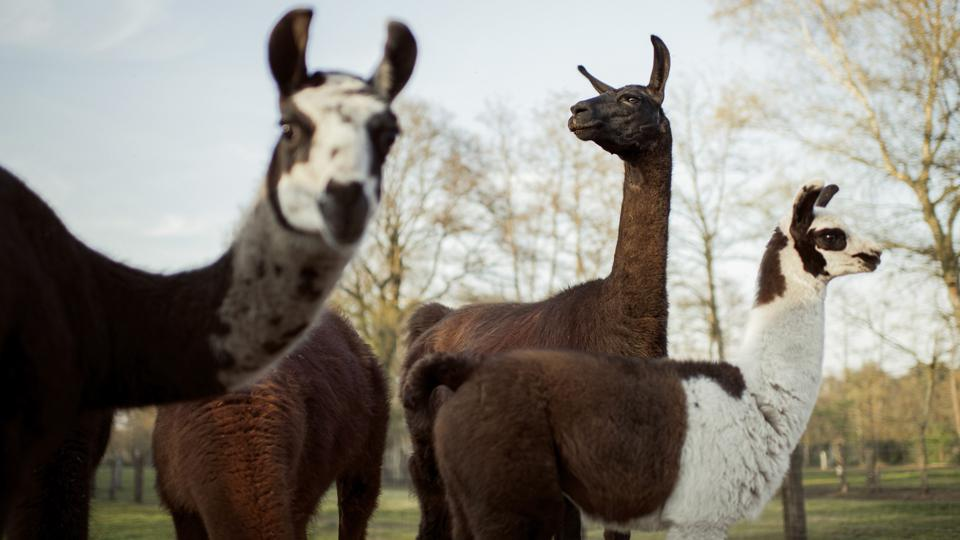 Winter the llama and her photobombing friends on a farm in the Belgian countryside.