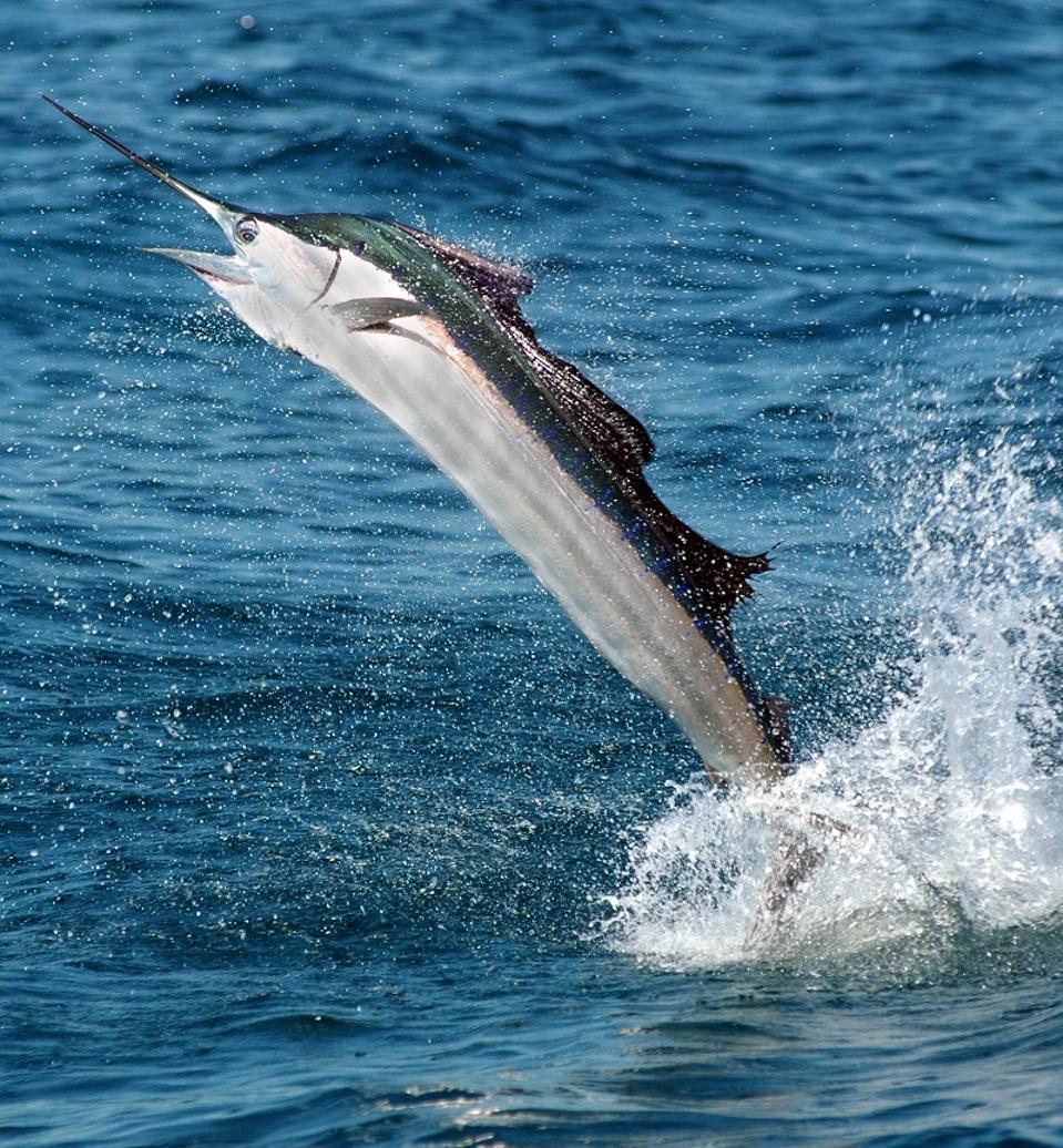 Sailfish in Florida Keys