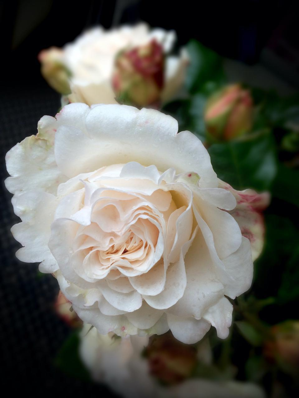 Phantom Rose is a creamy-white flower, offering a full bloom of 50 petals and rich perfume