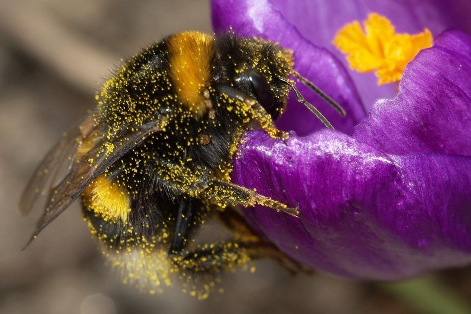 Bumble Bee Nibbles Stimulate Plants To Bloom Early