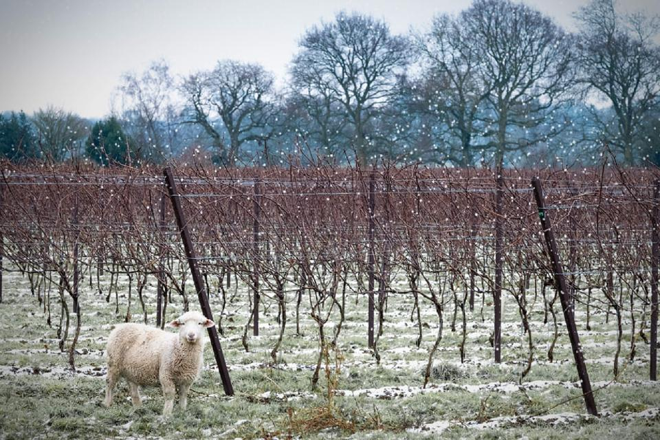 Sheep in the Nyetimber Vineyard During Winter
