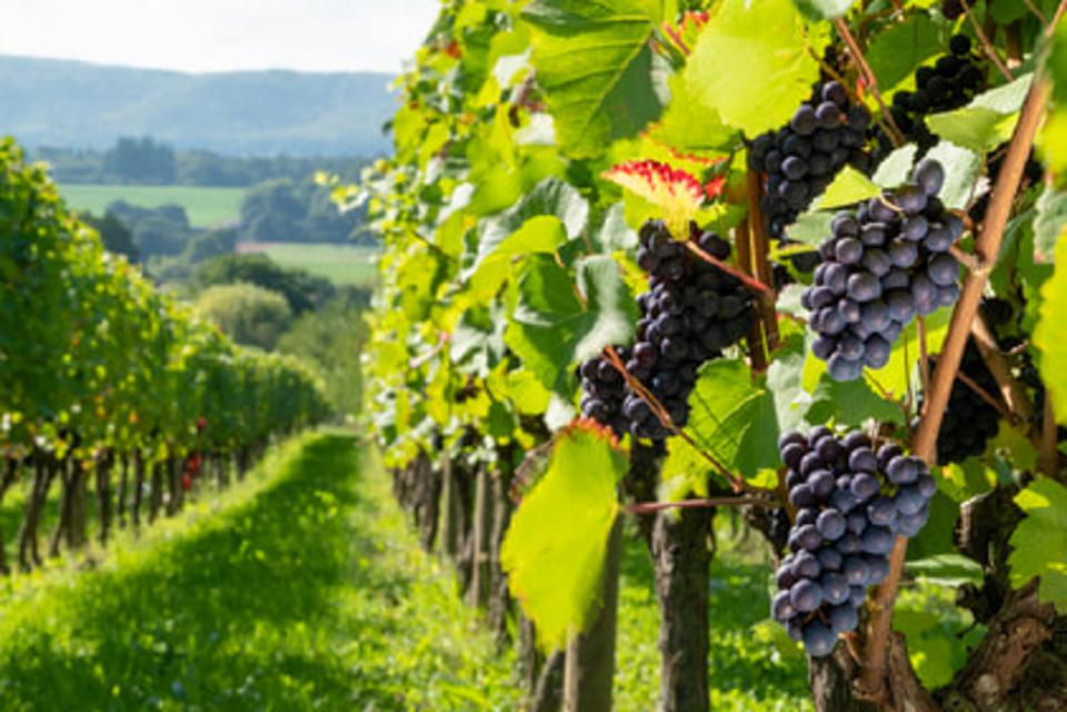 Nyetimber Vineyards