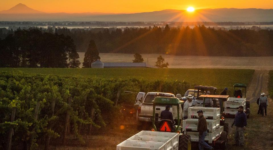 Harvest for Argyle in the Willamette Valley, Oregon