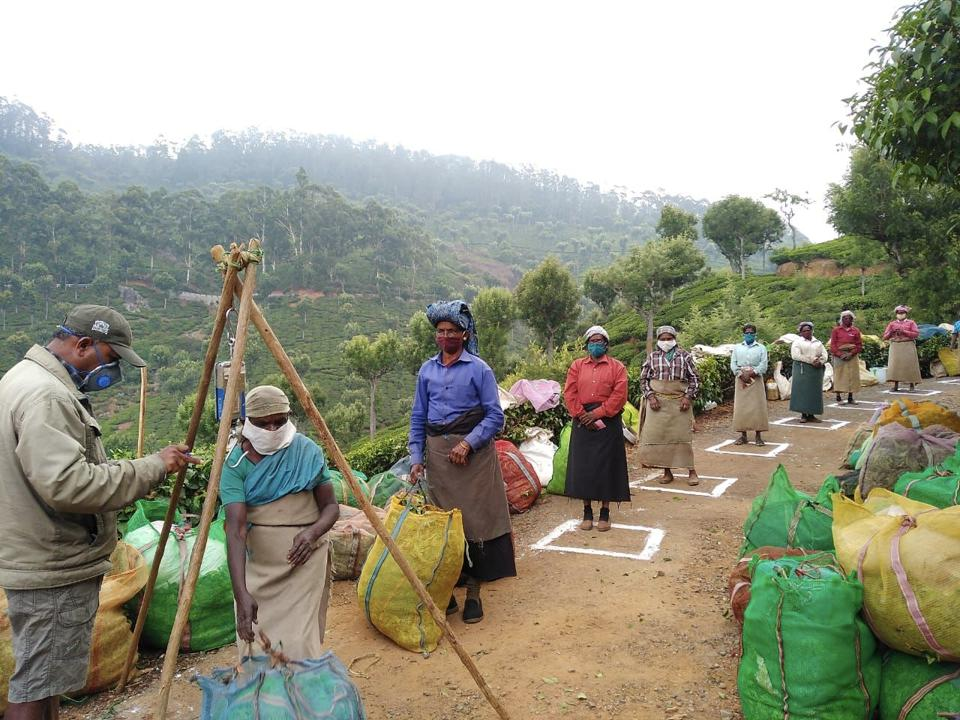 Tea pickers socially distancing during the Coronavirus pandemic in northern India.