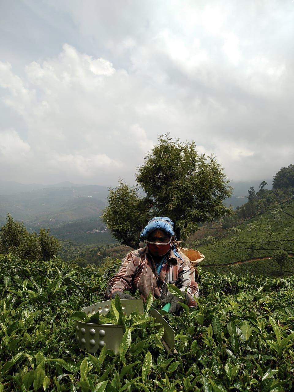 Picking tea in the Nilgiris region of India and following coronavirus guidelines.