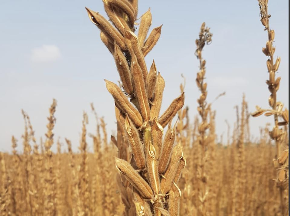 Sabras new breed of sesame is changing the future for U.S. growers in Texas and Oklahoma.