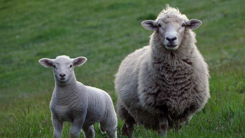 Lamb and sheep, warm in wool.