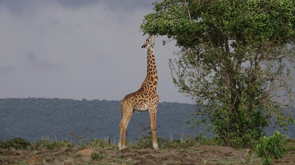 Giraffe eating leaves from a tall tree.